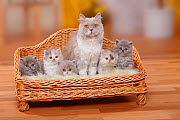 British Longhair Cat and kittens; Highlander / Lowlander / Britannica. Mother and five kittens sitting in miniature sofa bed  -  Petra Wegner
