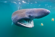 Basking shark (Cetorhinus maximus) feeding on plankton in the surface waters around the island of Coll, Inner Hebrides, Scotland, UK, June. 2020VISION Book Plate. Did you know? The largest Basking sha...  -  Alex Mustard / 2020VISION