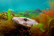 Lesser spotted catshark / Dogfish shark (Scyliorhinus canicula) hiding amongst seaweeds, Babbacombe Bay, Devon, UK, April. Did you know? There are at least 21 native British sharks.  -  Alex Mustard / 2020VISION