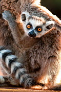 Young Ring-tailed lemur (Lemur catta) 6-8 weeks, clinging to mother, Berenty Private Reserve, southern Madagascar, November