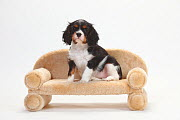 Cavalier King Charles Spaniel, puppy, tricolour, 9 weeks, sitting on small sofa.  -  Petra Wegner