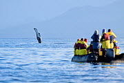 Humpback whale fin (Megaptera novaeangliae) with cruiseship passengers watching from a zodiac, Admiralty Island, Alaska, United States, July. No release available.  -  Brent Stephenson