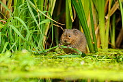 Water Vole (Arvicola amphibius / terrestris) foraging by water. Kent, UK, August.  -  Terry Whittaker / 2020VISION