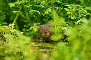 Water Vole (Arvicola amphibius / terrestris) foraging by water. Kent, UK, August. Did you know? Although mostly vegetarians, some water voles have been known to eat frogs� legs to get extra protein.  -  Terry Whittaker / 2020VISION