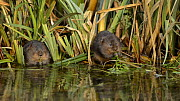 Two Water voles (Arvicola amphibius) eating, Kent, England, UK, July  -  Terry  Whittaker / 2020VISION