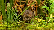 Water vole (Arvicola amphibius) eating, Kent, England, UK, July  -  Terry  Whittaker / 2020VISION
