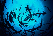 Whitetip reef sharks (Triaenodon obesus) pack silhouetted following scent trail in water column, Cocos Island, Costa Rica, Pacific Ocean  -  Jeff Rotman