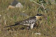 Great spotted cuckoo (Clamator glandarius) hunting for insects in grass, Extremadura, Spain, July  -  Loic Poidevin