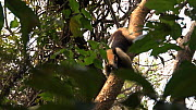 Northern tamandua (Tamandua mexicana) climbing down tree, showing use of partially prehensile tail, Santa Rosa National Park, Costa Rica.  -  Ammonite