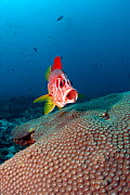 Long jawed / Sabre squirrelfish (Sargocentrum spiniferum) approaching cleaning station with mouth open, Maldives, Indian Ocean - Franco Banfi