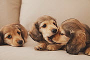 Dachshund puppies playing on sofa. Property released.  -  Aflo