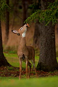White-tailed Deer (Odocoileus virginianus) sniffing spruce cone. New York, USA, January.  -  John Cancalosi
