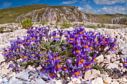 Alpine Toadflax (Linaria alpina) in flower, Campo Imperatore, Gran Sasso, Appennines, Abruzzo, Italy, May 2011  -  Paul Harcourt Davies