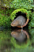Water Vole (Arvicola amphibius) emerging from pipe at side of river, Kent, UK, December  -  Terry Whittaker,Terry  Whittaker