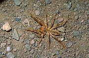 Camel Spider (Solifugae) Touran Protected Area, now part of Khar Turan National Park, Semnan Province, Iran - Gertrud & Helmut Denzau
