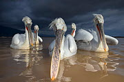 Dalmatian Pelican (Pelecanus crispus) group of pelicans with dark storm clouds approaching, Lake Kerkini, Greece, February - David  Pattyn