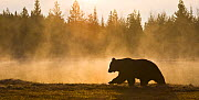 Brown bear (Ursus arctos) silhouetted at dawn, Karelia. Finland, May.  -  Juan  Carlos Munoz