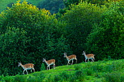 Fallow deer (Dama dama) stags, captive, Cabarceno Park, Cantabria, Spain, June.  -  Juan  Carlos Munoz
