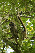 Spider Monkey (Ateles belzebuth) in tree above the clay lick at the Tiputini Biodiversity Station, Orellana Province, Ecuador, July.  -  Tim  Laman