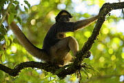 Spider Monkey (Ateles belzebuth) at the Tiputini Biodiversity Station, Orellana Province, Ecuador, July.  -  Tim  Laman
