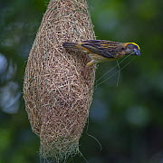 Baya weaver (Ploceus philippinus) male with nesting material on nest, Singapore. For sale in the UK only.  -  Ingo Arndt