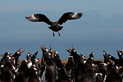 Gentoo penguins (Pygoscelis papua) calling and defending their eggs from Southern Skua (Stercorarius antarcticus) hunting for unattended eggs or chicks, Sea Lion island, The Falklands, South Atlantic. - Michael Pitts