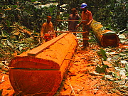 African rainforest clearance, men sawing hardwood tree trunks to make planks. South of Mbomo, Odzala-Kokoua National Park, Republic of Congo, May 2005.  -  Jabruson