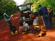 Vehicle contents removed by Ecoguards for inspection including various smoked duiker meat  portions and Bay Duiker (Cephalophus dorsalis), Ouesso to Makoua highway leading past Odzala-Kokoua National... - Jabruson