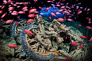 World War II British motorbikes (Norton 16H) stacked up on the back of truck in the hold of wreck of HMS Thistlegorm, with Soldierfish (Myripristis murdjan) swimming above. Sha'ab Ali, Sinai, Egypt. R...  -  Alex Mustard
