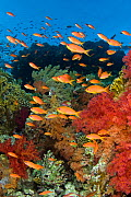 RF- School of Scalefin anthias (Pseudanthias squamipinnis) on reef in the current feeding on plankton, with soft corals (Dendronephthya spp.) and fire coral (Millepora dichotoma) Jackson Reef, Strait...  -  Alex Mustard