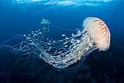 Northern sea nettle (Chrysaora Melanaster)  floating, with Mackerel fry ( Carangidae) Izu, Japan. January. - Aflo