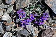 Alpine toadflax (Linaria alpina) growing in scree slope on mountainside. Nordtirol, Austrian Alps, July.  -  Alex  Hyde
