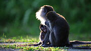 Long-tailed macaques (Macaca fascicularis) grooming, with baby playing nearby, Bako NP, Sarawak, Borneo, Malaysia. - Christophe Courteau