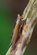 Mullein Moth (Cucullia verbasci) resting on a twig, Leicestershire, England. March.  -  Robert  Thompson