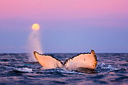 Fluke of diving Humpback whale (Megaptera novaeangliae) with full moon low on the horizon during polar night time, with blow from second whale in the background, Kvaloya, Troms, Northern Norway. Novem... - Espen Bergersen