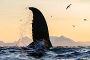 Humpback whale (Megaptera novaeangliae) with fin above water, Andfjorden close to Andoya, Nordland, Northern Norway. January. - Espen Bergersen