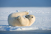 Polar bear (Ursus maritimus) young bear rolling around in the snow, on newly formed pack ice during autumn freeze up, Beaufort Sea, off Arctic coast, Alaska  -  Steven Kazlowski