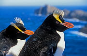 Erect-crested penguins (Eudyptes sclateri) pair on coast, Proclamation Island, Bounty Islands, New Zealand Sub-Antarctic Islands. Endemic to Antipodes and Bounty Islands. Endangered species. - Tui De Roy