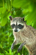 Pygmy Raccoon (Procyon pygmaeus) portrait, Cozumel Island, Mexico. Critically endangered endemic species. - Kevin  Schafer