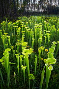 Yellow pitcher (Sarracenia flava) plants in bog, growing in fire-maintained landscape, Conecuh National Forest, Alabama, USA. May 2014. - Krista Schlyer