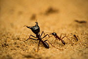 Driver ant (Dorylus) large soldier guarding smaller ants, in Salonga National Park, Democratic Republic of Congo.  -  Theo Webb