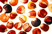 Colourful corn (Zea mays) seeds against white background.  -  Pal Hermansen