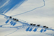 Herd of Moose (Alces alces) following in line in each other's tracks,  aerial view, Valdres, Norway, February. - Ole  Jorgen Liodden