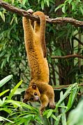 Kinkajou (Potos flavus) hanging upside down from branch. Captive in Ocean Park, Hong-Kong. Occurs in South and Central Asia.  -  Roland  Seitre