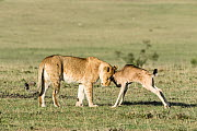 Lioness (Panthera leo) playing with a lost baby Wildebeest (Connochaetes taurinus), Masai-Mara Game Reserve, Kenya - Denis-Huot