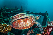 Green turtle (Chelonia mydas) with two large remoras (Echeneis naucrates) attached to its carapace, at rest on artificial reef.  Mabul, Malaysia. - Georgette Douwma