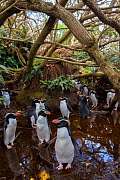 Snares island crested penguin (Eudyptes robustus) colony in forest, Snares Island, New Zealand. - Mark  MacEwen