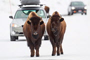 Bison (Bison bison) pair standing on road in winter, Yellowstone National Park, Wyoming, USA, March. - Peter Cairns