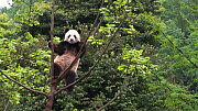 Giant panda (Ailuropoda melanoleuca) yawning in a tree, Conservation and Research Center for the Giant Panda, Chengdu, China. Captive.  -  Silke Arndt