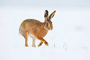 Brown hare (Lepus europaeus) adult walking across a snow covered field. Derbyshire, UK, January.  -  Andrew Parkinson
